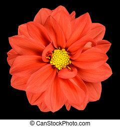 Orange Dahlia Flower with Yellow Center Isolated