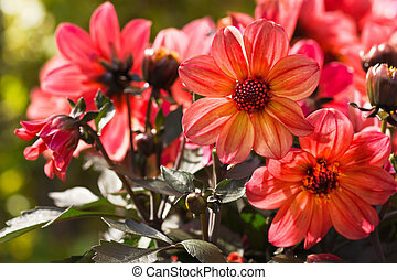 Orange Dahlia flowers in morning sun