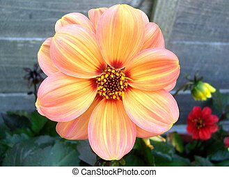 Orange Dahlia - macro shot of a orange dahlia. focus is on...