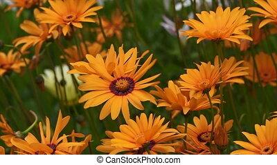Orange Daisies blossom - Orange Daisies wild flowers blossom...