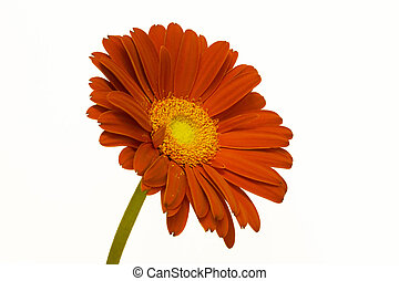 Orange Daisy - An upright orange daisy with yellow center.