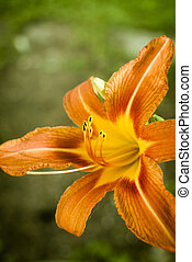 Orange day lily flower closeup