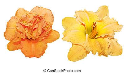 orange, daylily, jaune
