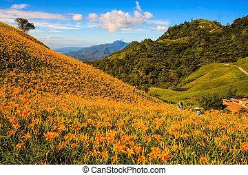 orange daylily on sixty stone mountain, Taiwan - Daylily on...