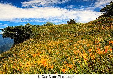 orange, daylily