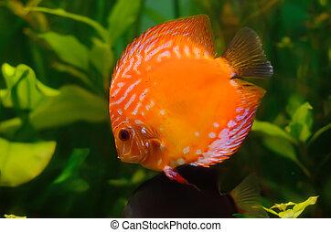Orange discus fish in the aquarium