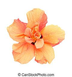 Orange double hibiscus f