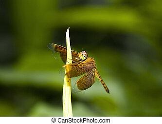 orange dragonfly resting