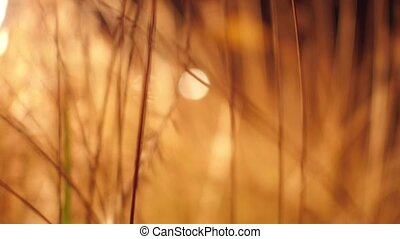 Orange dry grass close up shallow focus steadicam shot. 4K...