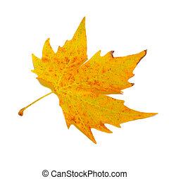Orange fall maple leaf isolated on white.