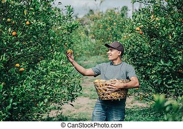 Portrait happy male farmer harvest orange fruits in orange tree field