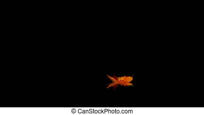 orange feather falling onto a reflective surface on a black background.