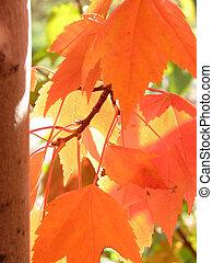 orange, feuilles autome, chauffant, dans, lumière soleil