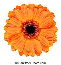 orange, fleur blanche, isolé, gerbera