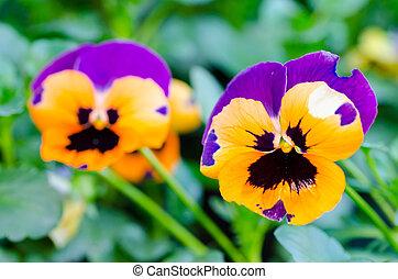 orange, fleurs pourpres, pensée