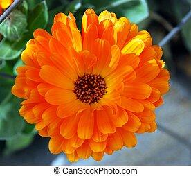 Orange flower head isolated