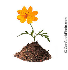 Orange flower in mound of earth isolated with clipping path...