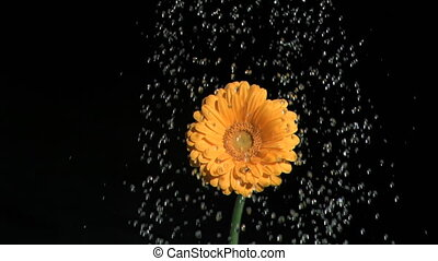 Orange flower in super slow motion being watered against a...