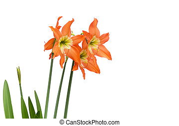 Orange flower isolated on white background, with clipping path