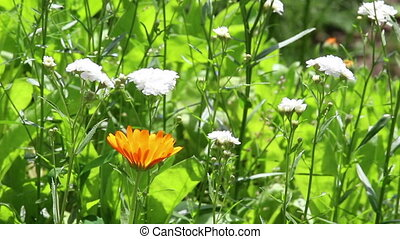 Orange flower of calendula