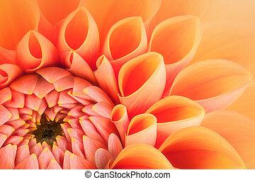 Orange flower petals, close up and macro of chrysanthemum,...