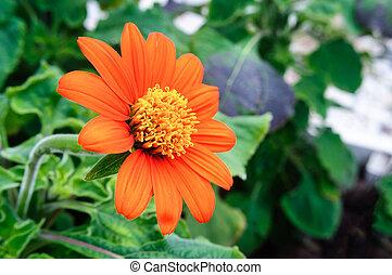 Orange flower Tithonia rotundifolia in the garden. - Orange ...