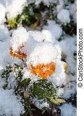 orange flower under first snow in autumn