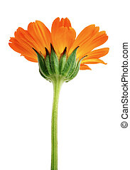orange flower with long green stem isolated on white