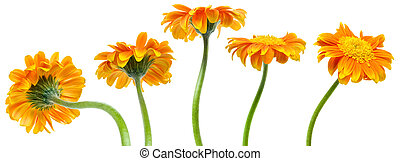 orange flowers - a flower in five different positions from...