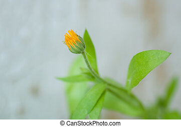 Orange flowers Calendula with green leaves on balcony.