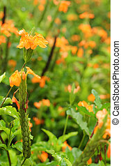 Orange flowers - in the garden.