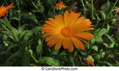 Orange Flowers Of Calendula Officinalis. Medicinal Plant. -...