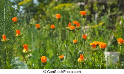 Orange flowers of marigold in the wind