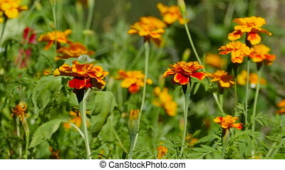 orange flowers of marigolds close-up