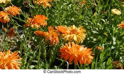Orange flowers on the meadow
