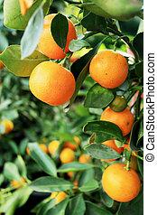 orange, frais, arbre, pend, mûre