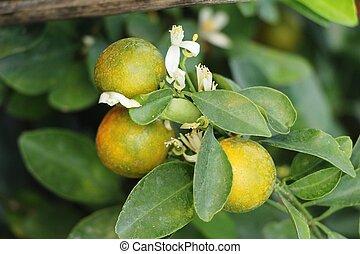 orange fruit on tree with the natrue