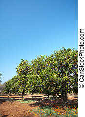 Orange fruit orchard - Orange trees in an fruit orchard on a...