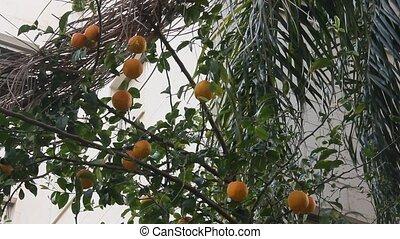Orange fruit tree in the city