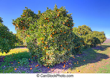 Orange fruit tree with ripe oranges
