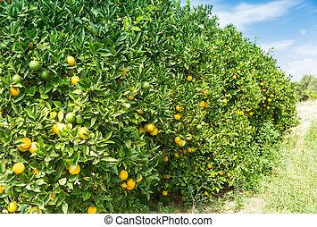 Orange garden - Trees with ripe fruits