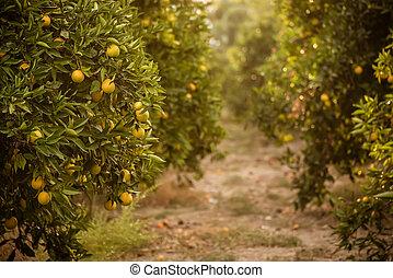 Orange garden with fruit