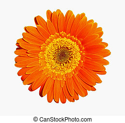 Orange gerber - Flower of an orange gerber, isolated on...