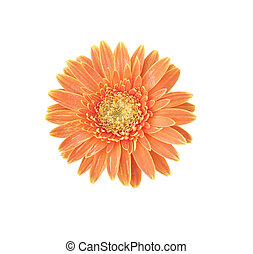 Orange Gerbera bloom Flowers