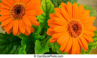 Orange gerbera bloom with green leaves on a wooden table