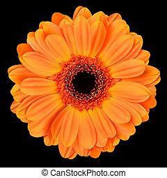 Orange Gerbera Flower Isolated on Black