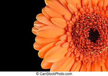 Orange Gerbera Flower Macro Isolated on Black