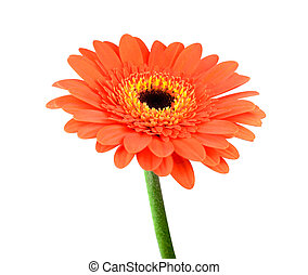 Orange Gerbera Flower with Green Stem Isolated