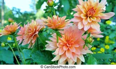 Orange gerbera in a garden. - Orange gerbera in a garden
