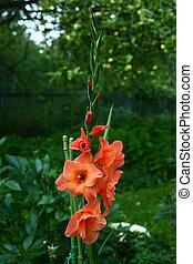 orange gladiolus on the green garden background